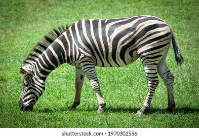 Zebra grazing on grass. Black and white equine side view on a green background. Striped coat Hippotigris.