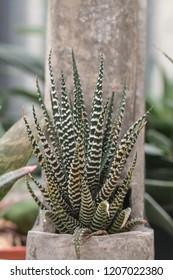 Zebra Haworthia Fasciata suculent plant.Cactus and Succulent a hobby plants.
