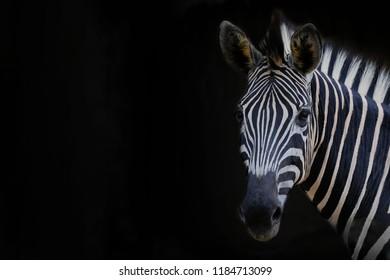 Zebra head with black background