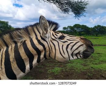 zebra head close