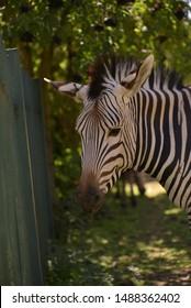 Zebra head close up in zoo.