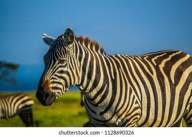 Zebra head closeup