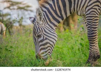 Zebra head closeup grazing