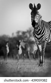 Zebra herd in black and white