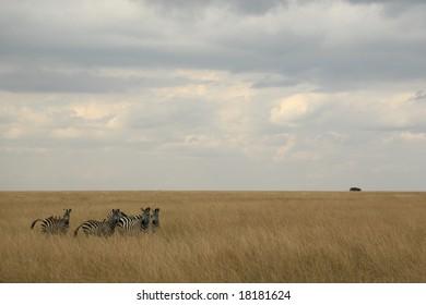 zebra herd in a kenyan grass covered landscape