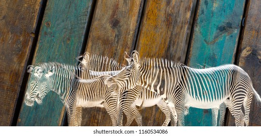 Zebra Herd On Wooden Background Isolated Colored Close Up