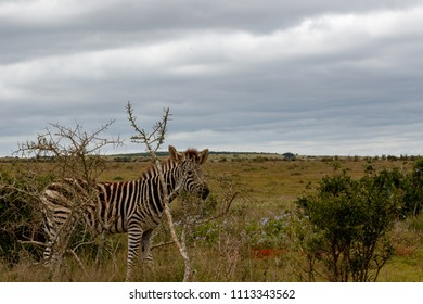 Zebra hiding behind a thorny bush in the field