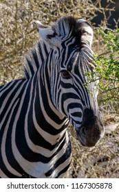 Zebra hiding between the trees in the field