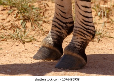 Zebra hooves close-up in Addo Elephant National Park, South Africa