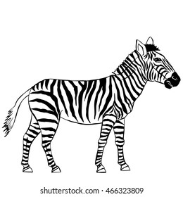 Zebra. Illustration