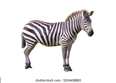 Zebra isolated over white background