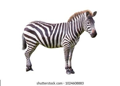 Zebra isolated over white background