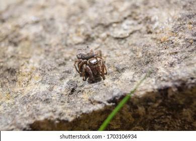 Zebra jumper spider Salticus scenicus