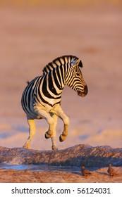 Zebra jumping out of waterhole;  Etosha; Equus burchell's