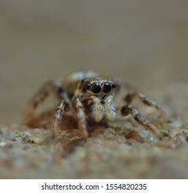 Zebra jumping spider close up macro shot. Salticus scenicus (Salticidae). photo taken in the United Kingdom.