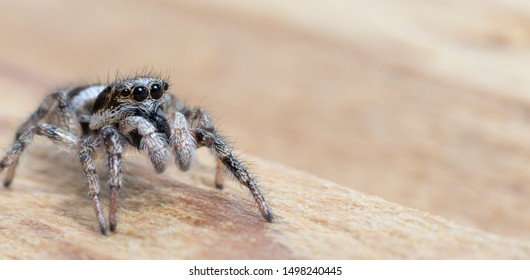 Zebra Jumping Spider looking with big Eyes. Macro Image of a tiny Spider. Jumpingspider closeup on Wood underground