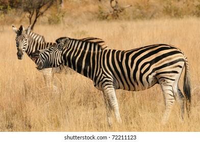 Zebra Laughing