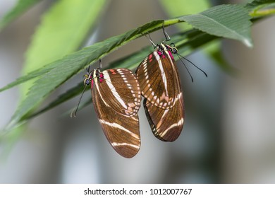 Zebra longwing butterflies (Heliconius charithonia) mating while perched upside down on a leaf.