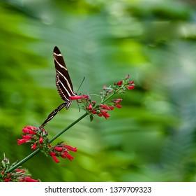 Zebra Longwing butterfly on a Cardinal Flower