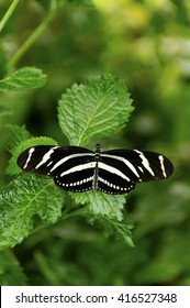 Zebra longwing butterfly on a leaf.