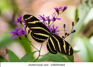 Zebra Longwing Butterfly on Native Florida Ironweed Plant