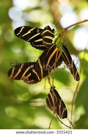 Zebra Longwing butterfly roosting under a tree branch in the desert. ( Heliconius Charitonius)