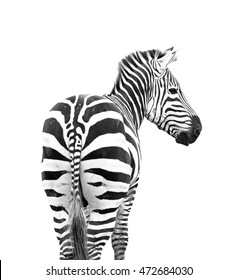 zebra looking back shoot from behind its butt isolated on white background