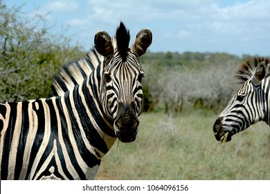 Zebra looking at camera with another photobombing.