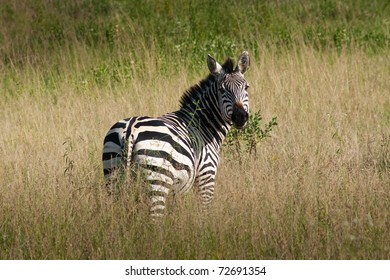 A zebra was looking at tourists who was traveling around Serengeti.