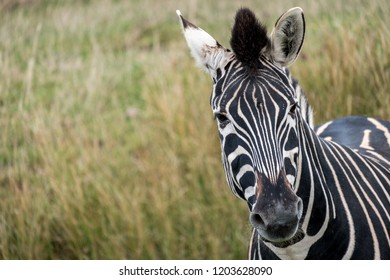 Zebra looks quizzically at the camera at Port Lympne Safari Park, Ashford Kent UK.