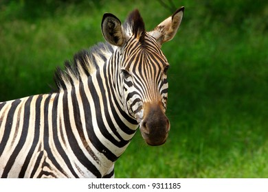 Zebra with lush green background looking at camera
