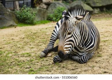 a zebra lying down