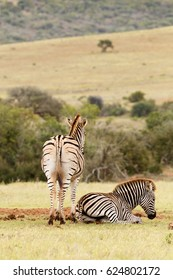 Zebra lying and resting close to his partner in the field.