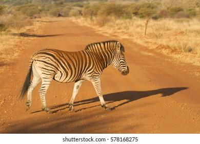 Zebra, Madikwe Game Reserve