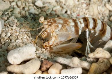 Zebra mantis shrimp or striped mantis shrimp, Lysiosquillina maculata