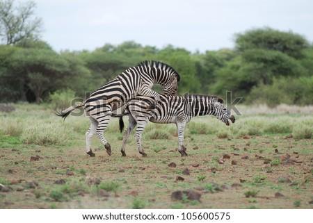 Zebra Mating Stockfoto Jetzt Bearbeiten 105600575 Shutterstock