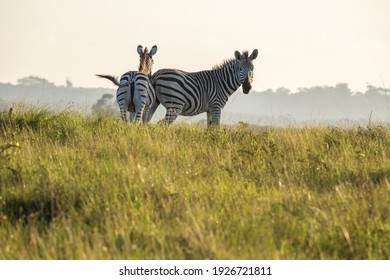 Zebra mother and her baby calf grazing and grooming on a hill, on safari whilst the sunset's in a distance
