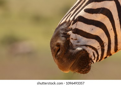 Zebra mouth close-up in Addo Elephant National Park, South Africa