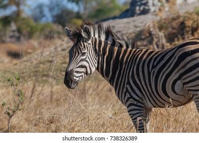 Zebra in nature