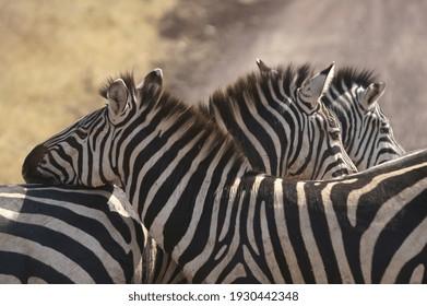 zebra in the ngorongoro conservation area