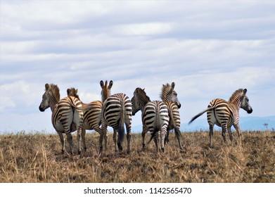 Zebra, Nyika National Park, Malawi