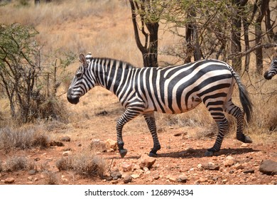 Zebra on the African wilderness