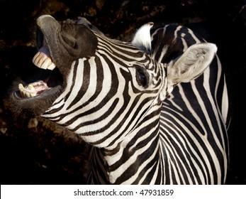 zebra on dark background