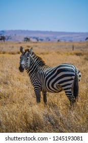 Zebra on dry African savanna grassland