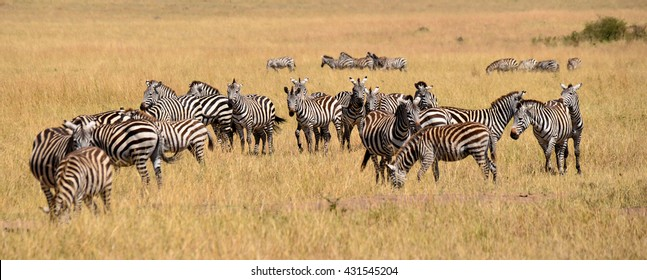 Zebra on grassland in Africa, National park of Kenya
