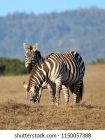 Zebra on Hearst Ranch near Hearst Castle, San Simeon, central coast of California, USA