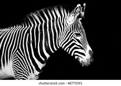 Zebra on the left looking in to copy space to the right.