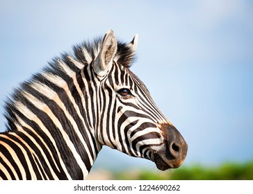 Zebra on its own against blue skty, close up head only
