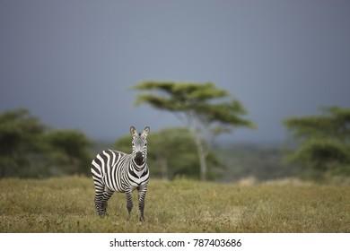 A zebra on Tanzania's Serengeti plain