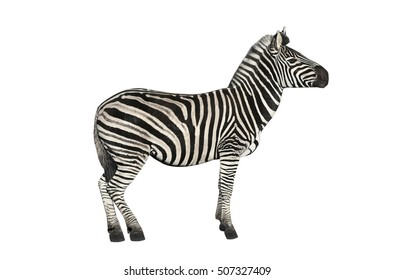 Zebra  a on white background